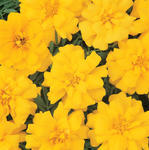 Tagetes patula Durango Yellow 500 seeds