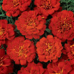 Tagetes patula Durango Red 500 seeds