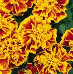 Tagetes patula Bonanza Bee 500 seeds