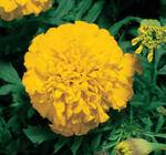 Tagetes patula Golden Boy 1g