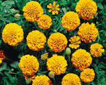 Tagetes patula Orange Boy 1g