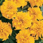 Tagetes patula Bonanza Gold 500 seeds
