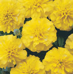 Tagetes patula Bonanza Yellow 500 seeds