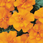 Tagetes patula Durango Orange 500 seeds
