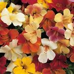 Mimulus Magic Mix F1 1000 seeds
