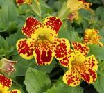 Mimulus Maximus Yellow Blotch F1 1000 seeds