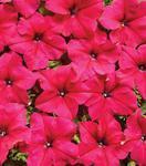 Petunia hybrida Mistral růžová 500 semen