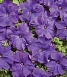 Petunia hybrida Mistral tmavě modrý 500s
