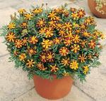 Tagetes patula Mr.Majestic 200 seeds