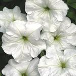 Petunia hybrida Angelika F1 1/16g