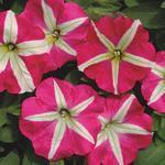 Petunia hybrida Belinda F1 1/16g