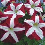 Petunia hybrida Kristýna F1 1/16g