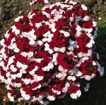 Nemesia strumosa Danish Flag 500 seeds