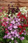 Nicotiana Perfume Mixture F1 250 seeds