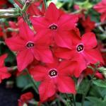 Nicotiana Perfume Bright Rose F1 250 seeds