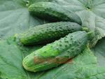 Cucumber Gherkin Orfeus F1 10g