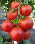 Pole tomato Orkado F1 5g