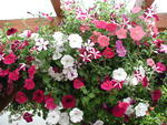 Petunia pendula Avalanche Mix F1 300 seeds
