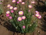 Helipterum roseum růžové 1g