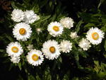 Helichrysum bracteatum Bílé 2g