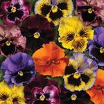 Viola x w.Frizzle Mix F1 500 seeds