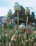 Papaver somniferum The Giant 5g