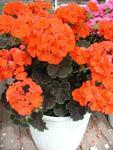 Pelargonium x h. Black Velvet Scarlet F1 100s