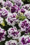 Petunia h. Purple Pirouette F1 250 pellets