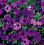 Petunia Fortunia Blue Wave F1 250 pellets
