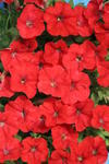 Petunia h.Petit Red F1 250 pellets