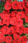 Petunia h. Petit červená F1 250 pelet
