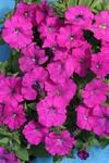 Petunia h. Petit fialová F1 250 pelet
