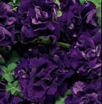 Petunia h. Double Cascade Blue F1 250 pelet