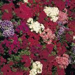 Phlox drummondii Ethnie Mix 500 seeds