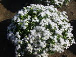 Ageratum houstonianum White 1g