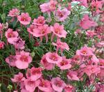 Diascia barberae Pink Queen 1g