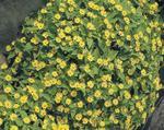 Melampodium paludosum Showstar 250s