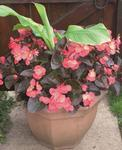 Begonia x b. Big® Rose Bronze Leaf F1 200 pelet