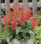 Salvia coccinea Lady in Red  250 seeds