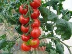 Pole tomato Spancer F1 5g