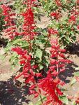 Salvia splendens Svatojanský oheň 2g
