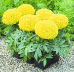 Tagetes erecta Antiqua Yellow F1 20 seeds