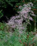 Thalictrum delavayi Rose 1g