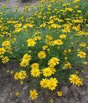 Thymophylla tenuiloba Golden Yellow 0,25g