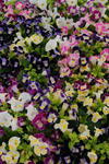 Torenia fourieri Clown Mix F1 500 pelet