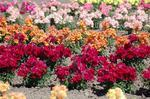Antirrhinum m. Twinny Mixture F1 500 seeds