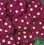 Verbena hybrida Quartz XP purpur.červ. s okem 500s