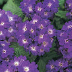 Verbena hybrida Quartz Blue 500 seeds