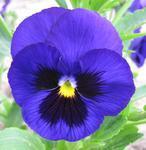 Viola x w. Alpensee 1g