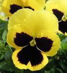 Viola x w. Firnengold 1g